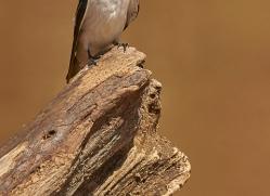white-winged-swallow-copyright-photographers-on-safari-com-7259