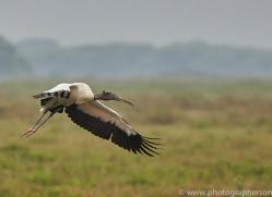 wood-stork-copyright-photographers-on-safari-com-7260