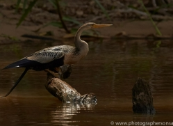 anhinga-copyright-photographers-on-safari-com-7191