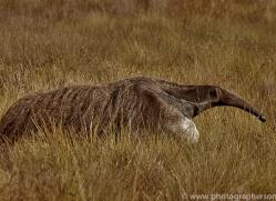 anteater-copyright-photographers-on-safari-com-7136