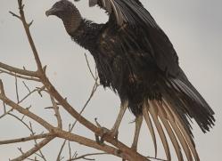 black-skimmer-copyright-photographers-on-safari-com-7197