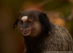 black-tufted-ear-marmoset-copyright-photographers-on-safari-com-7172