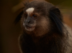 black-tufted-ear-marmoset-copyright-photographers-on-safari-com-7173