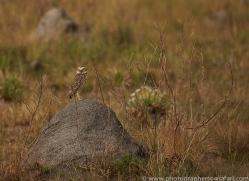 burrowing-owl-copyright-photographers-on-safari-com-7201