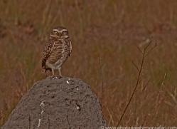 burrowing-owl-copyright-photographers-on-safari-com-7205