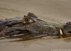 caiman-copyright-photographers-on-safari-com-7141