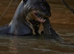 giant-river-otter-copyright-photographers-on-safari-com-7161