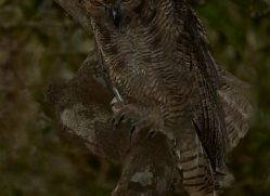 great-horned-owl-copyright-photographers-on-safari-com-7226