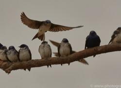 grey-breasted-martin-copyright-photographers-on-safari-com-7222
