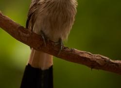 guira-cuckoo-copyright-photographers-on-safari-com-7227