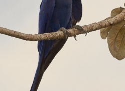 hyacinth-macaw-copyright-photographers-on-safari-com-7230