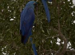 hyacinth-macaw-copyright-photographers-on-safari-com-7232