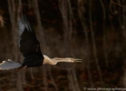 anhinga-copyright-photographers-on-safari-com-7192