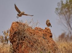 burrowing-owl-copyright-photographers-on-safari-com-7200