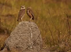 burrowing-owl-copyright-photographers-on-safari-com-7203