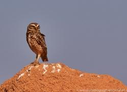burrowing-owl-copyright-photographers-on-safari-com-7204