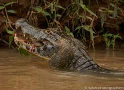 caiman-copyright-photographers-on-safari-com-7151