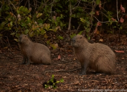capybara-copyright-photographers-on-safari-com-7176