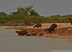 capybara-copyright-photographers-on-safari-com-7178