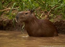 capybara-copyright-photographers-on-safari-com-7179