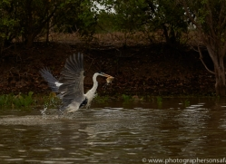 cocoi-heron-copyright-photographers-on-safari-com-7210