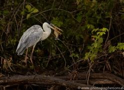 cocoi-heron-copyright-photographers-on-safari-com-7211