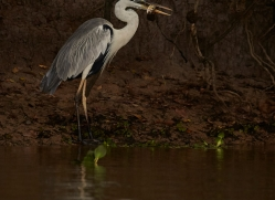 cocoi-heron-copyright-photographers-on-safari-com-7212