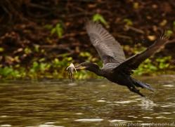 cormorant-copyright-photographers-on-safari-com-7215