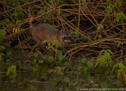 crab-eating-raccoon-copyright-photographers-on-safari-com-7184