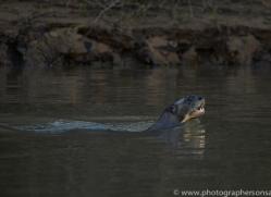 giant-river-otter-copyright-photographers-on-safari-com-7159
