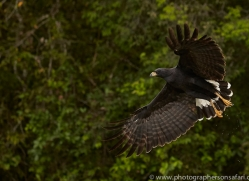 great-black-hawk-copyright-photographers-on-safari-com-7224