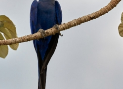 hyacinth-macaw-copyright-photographers-on-safari-com-7231