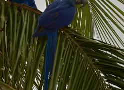 hyacinth-macaw-copyright-photographers-on-safari-com-7233