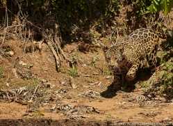 jaguar-copyright-photographers-on-safari-com-7054