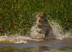 jaguar-copyright-photographers-on-safari-com-7060