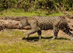 jaguar-copyright-photographers-on-safari-com-7065