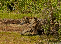 jaguar-copyright-photographers-on-safari-com-7066