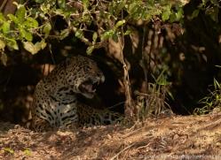 jaguar-copyright-photographers-on-safari-com-7067