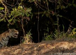 jaguar-copyright-photographers-on-safari-com-7071