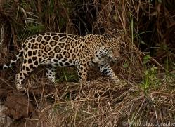 jaguar-copyright-photographers-on-safari-com-7077