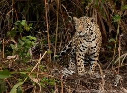 jaguar-copyright-photographers-on-safari-com-7082