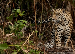 jaguar-copyright-photographers-on-safari-com-7083