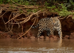 jaguar-copyright-photographers-on-safari-com-7091