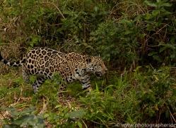jaguar-copyright-photographers-on-safari-com-7095