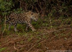 jaguar-copyright-photographers-on-safari-com-7096