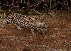jaguar-copyright-photographers-on-safari-com-7100
