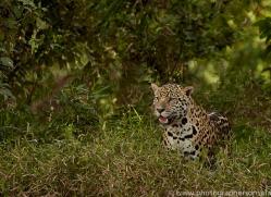 jaguar-copyright-photographers-on-safari-com-7101