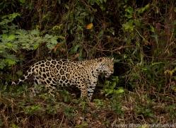 jaguar-copyright-photographers-on-safari-com-7103