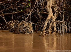 jaguar-copyright-photographers-on-safari-com-7106