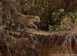 jaguar-copyright-photographers-on-safari-com-7112